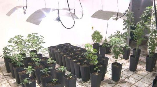plantacao-de-maconha